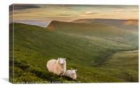 Welsh Mountain Sheep, Canvas Print