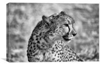 Portrait of a cheetah sitting, Canvas Print