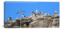 Group of Atlantic Puffins, Canvas Print