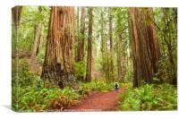 The beautiful and massive giant redwoods, Sequoia , Canvas Print