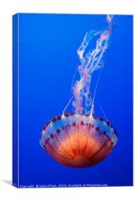 Large jellyfish, Atlantic Sea Nettle , Canvas Print