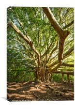 The large and majestic banyan tree located on the , Canvas Print