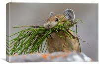 American Pika with Mouthful, Canvas Print