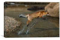 Red Fox jumping over River, Canvas Print