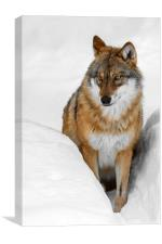 Wolf in the Snow in Winter, Canvas Print