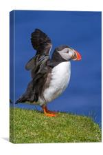 Puffin Stretching Wings, Canvas Print