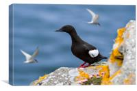Black Guillemot in Scotland, Canvas Print