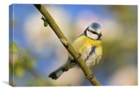 Blue Tit in Spring, Canvas Print