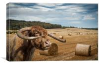 Horned Cow in Scottish Borders. , Canvas Print