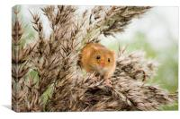 Harvest Mouse , Canvas Print