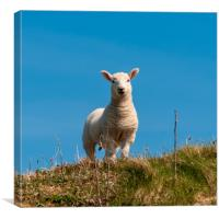 Hebridean Lamb, Canvas Print