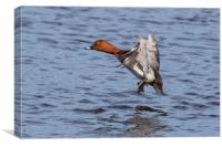 Pochard in flight, Canvas Print