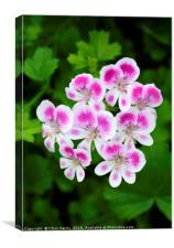 Pelargonium Angeleyes, Canvas Print