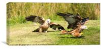 Red Kite food fight, Canvas Print