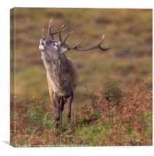 Stag eye view, Canvas Print