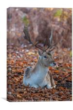 Resting fallow stag, Canvas Print
