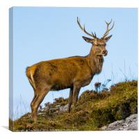 Relaxed Highland Stag , Canvas Print