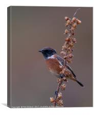 Highland Stonechat, Canvas Print