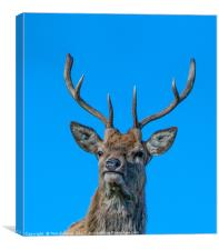 HIghland Red Stag portrait, Canvas Print