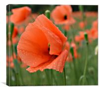 Poppy With Water Droplets, Canvas Print