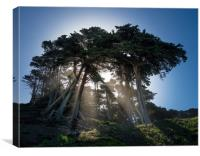 Dramatic sunbeams through large stand of fir trees, Canvas Print