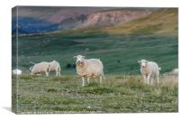 Sheep grazing in the natural landscape of Wales, Canvas Print