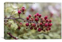 Red blackberry's coming into bloom, Canvas Print