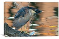 Portrait of a black-crowned night heron, Canvas Print