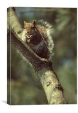 Squirrel on a branch, High Park, Toronto, Ca, Canvas Print