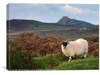 Dartmoor Sheep, Canvas Print
