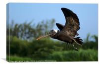 Pelican in Flight, Canvas Print