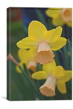 narcissus in the garden, Canvas Print