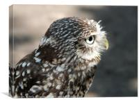 little owl in close up profile, Canvas Print