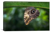 Owl Butterfly , Canvas Print