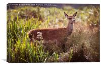 Young Deer sheltering from the sun, Canvas Print