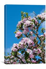 Apple blossom in April, Canvas Print
