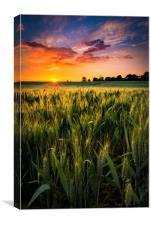 Sunset over a wheat field in Northamptonshire, Canvas Print
