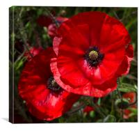 A field of bright, red poppies , Canvas Print