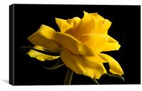 Rose isolated on a black background, Canvas Print
