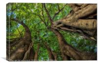 Looking up into Fig Canopy, Canvas Print