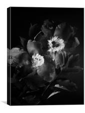 Black peonies flowers, Canvas Print
