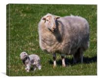 The New Arrival. A Newly Born Lamb on Anglesey., Canvas Print