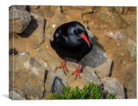 Chough at Stack Rocks, Pembrokeshire., Canvas Print