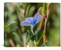 Silver-Studded Blue Butterfly., Canvas Print