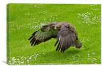 Low Flying Buzzard, Canvas Print