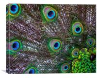Peacock Feathers, Canvas Print