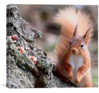 Nuts ! surprised look on Red Squirrel's face, Canvas Print