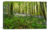Bluebells in Long Wood                            , Canvas Print