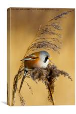 Bearded tit in the reeds, Canvas Print