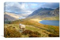 Lonely sheep in the Ogwen Valley, Canvas Print